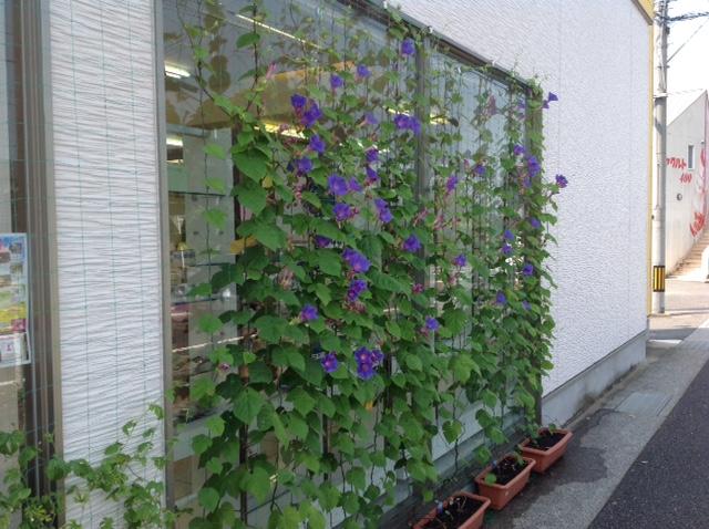 西岐波店緑のカーテン