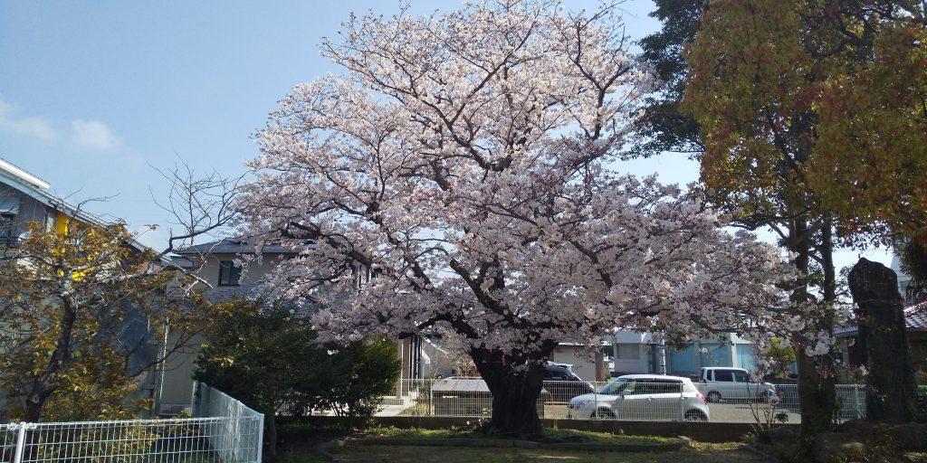 阿知須 木船公園のさくら