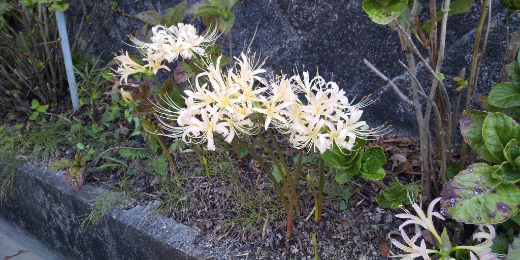 トム・フクダ阿知須本店の駐車場の彼岸花