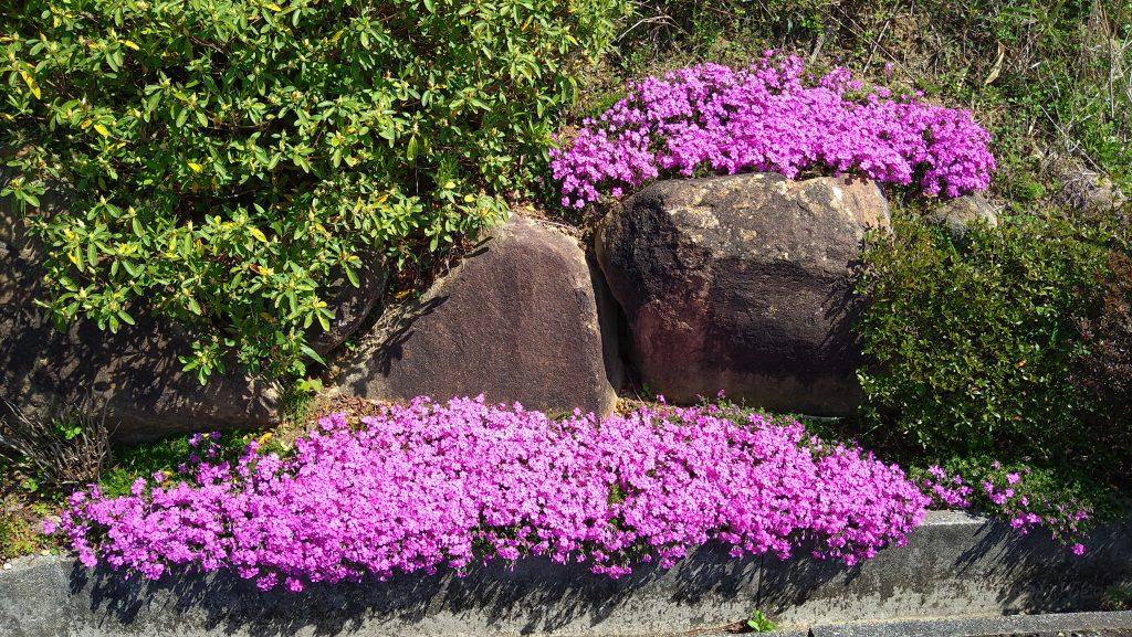 トム・フクダ阿知須本店の芝桜
